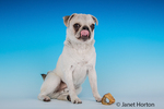 Max, a white Pug puppy, posing with his bone, looking hungry in Issaquah, Washington, USA