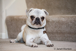Max, a white Pug puppy, lying on carpeted stairs in Issaquah, Washington, USA