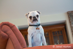 Max, a white Pug puppy, standing in an upholstered chair, looking down, in Issaquah, Washington, USA