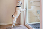 Max, a white Pug puppy, impatiently scratching at the door to be let out, in Issaquah, Washington, USA