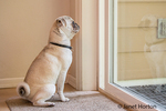 Max, a white Pug puppy, waiting patiently to be let out the door, in Issaquah, Washington, USA