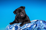 Kato, a black Pug puppy resting on a pillow in Issaquah, Washington, USA