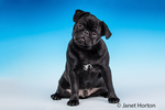 Kato, a black Pug puppy sitting in Issaquah, Washington, USA
