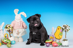 Kato, a black Pug puppy sitting among some Easter decorations in Issaquah, Washington, USA