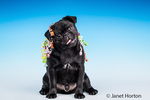 Kato, a black Pug puppy with