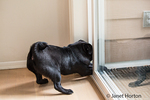 Kato, a black Pug puppy impatient to be let out the door, trying to scratch his way out, in Issaquah, Washington, USA