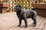 Kato, a black Pug puppy standing on a cedar deck in Issaquah, Washington, USA