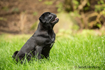 Kato, a black Pug puppy sitting in the grassy lawn in Issaquah, Washington, USA