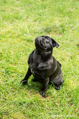 Kato, a black Pug puppy looking up from the lawn, in Issaquah, Washington, USA