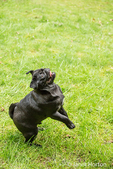 Kato, a black Pug puppy jumping up from the lawn, in Issaquah, Washington, USA
