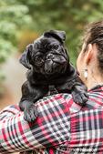 Woman holding Kato, her black Pug puppy in Issaquah, Washington, USA