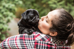 Kato, a black Pug puppy giving his owner a doggy kiss, in Issaquah, Washington, USA