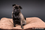 Olive, the Pug, sitting on a dog bed in Issaquah, Washington, USA