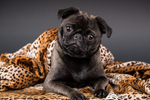 Olive, the Pug, wrapped in a spotted blanket in Issaquah, Washington, USA