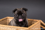 Olive, the Pug, sitting in a picnic basket in Issaquah, Washington, USA