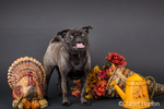 Olive, the Pug, surrounded by Thanksgiving decorations in Issaquah, Washington, USA