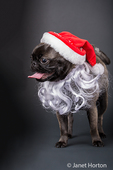 Olive, the Pug, wearing a Santa hat and beard in Issaquah, Washington, USA
