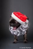 Olive, the Pug, wearing a Santa hat and beard in Issaquah, Washington, USA