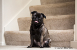 Olive, the Pug, sitting on carpeted stairs in Issaquah, Washington, USA