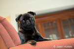 Olive, the Pug, sitting in an upholstered chair in Issaquah, Washington, USA