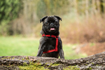 Olive, the Pug, with front paws resting on a fallen tree in Issaquah, Washington, USA