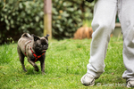 Olive, the Pug, running in the yard with his owner in Issaquah, Washington, USA