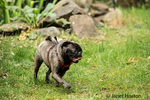 Olive, the Pug, running in the yard in Issaquah, Washington, USA
