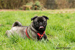 Olive, the Pug, resting in the grass after a frolicking romp, in Issaquah, Washington, USA