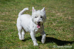 Zipper, a Westie, running with great enjoyment in Issaquah, Washington, USA