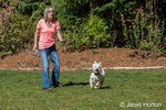 Zipper, a Westie, playing fetch with his owner in Issaquah, Washington, USA