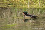 Male Wood duck swimming in Bower Slough in Ridgefield National Wildlife Refuge in Ridgefield, Washington, USA.