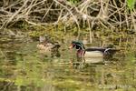 Male and female Wood duck swimming in a river in Ridgefield National Wildlife Refuge in Ridgefield, Washington, USA.
