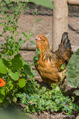 Americauna chicken foraging in the garden in Issaquah, Washington, USA
