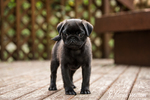 Fitzgerald, a 10 week old black Pug puppy exploring outside on a wooden deck in Issaquah, Washington, USA