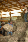 Men pitching and stacking bales of aromatic hay in the barn, near Galena, Illinois, USA