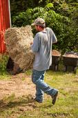 Man carrying bale of orchard grass alfalfa mix hay into the barn, near Galena, Illinois, USA