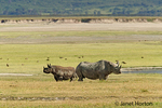 Two Black (Browse) Rhinos in Ngorongoro Crater, Tanzania