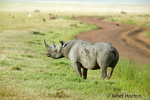 Black (Browse) Rhino standing by a dirt road in Ngorongoro Crater, Tanzania