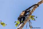 Mantled Howler Monkey (Alouatta palliata) in the trees beside Pachira Lodge in Tortuguero, Costa Rica