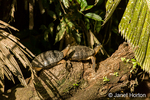 Black River Turtles (Rhinoclemmys funerea) sunning themselves on a log next to the river in Tortuguero National Park, Costa Rica, Central America