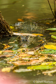 Spectacled Caiman (Caiman crocodilus) lurking, waiting for prey in Tortuguero National Park, Costa Rica
