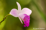 Wild orchid growing around the Pachira Lodge in Tortuguero, Costa Rica, Central America