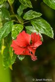 Red Hibiscis flower growing wild near Pachira Lodge in Tortuguero, Costa Rica