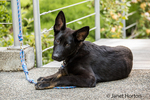 Vito, a four month old German Shepherd puppy resting in the driveway to his home
