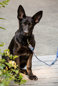 Vito, a four month old German Shepherd puppy sitting in the driveway to his home next to honeysuckle shrubbery