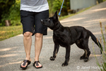 Vito, a four month old German Shepherd puppy walking down the driveway to his home, being disobedient and pulling on his leash