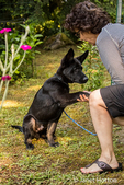 Vito, a four month old German Shepherd puppy obediently performing the