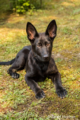 Vito, a four month old German Shepherd puppy resting in his mossy Pacific northwest lawn