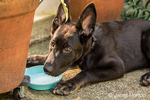 Vito, a four month old German Shepherd puppy taking a drink from his water bowl after playing