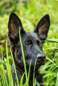Portrait of Vito, a four month old German Shepherd puppy looking out from his hiding spot in the tall grasses in his yard